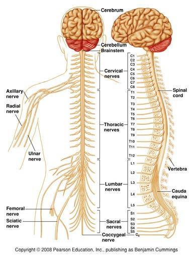 anatomia del sistema nervioso pdf