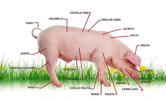 anatomia y fisiologia del sistema digestivo del cerdo pdf
