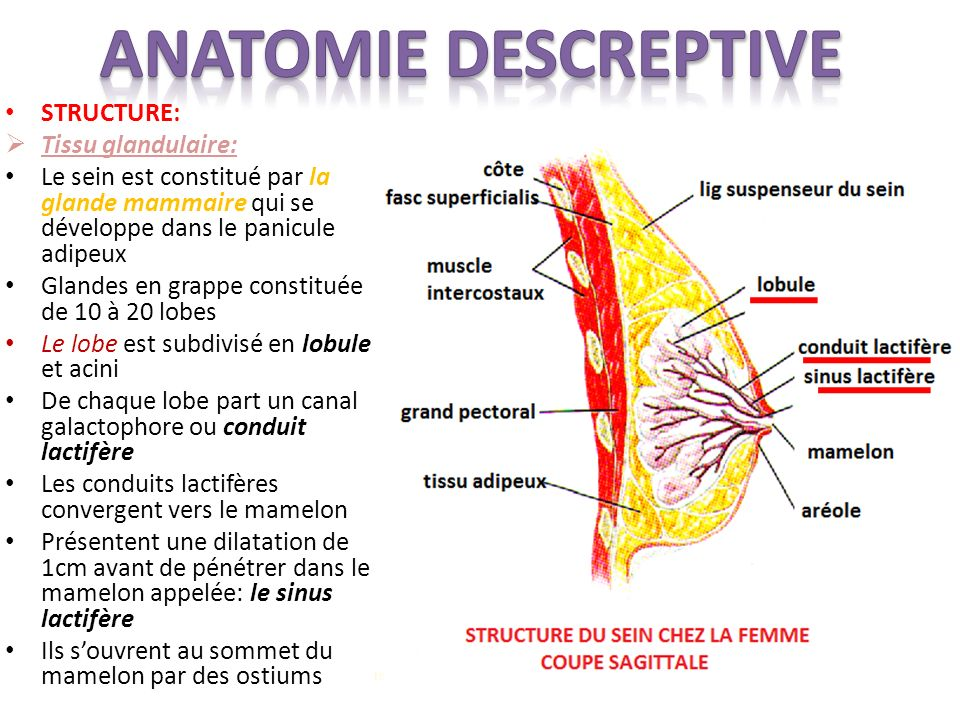 anatomie generale de la glande mammaire pdf