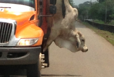 condiciones para transporte de ganado